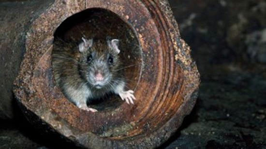 deratizácia, hubenie hlodavcov, potkan